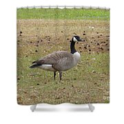 Canadian Goose Strutting  Shower Curtain