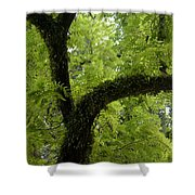 Canopy Of Cedar Elm Shower Curtain