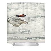 Canvasback Duck In Flight Shower Curtain