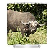 Cape Buffalo  Uganda Shower Curtain