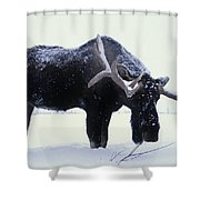 Captive Bull Moose Foraging For Food Shower Curtain
