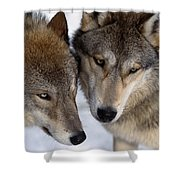 Captive Close Up Wolves Interacting Shower Curtain