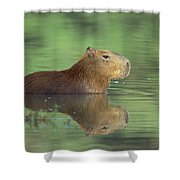 Capybara Wading Pantanal Brazil Shower Curtain