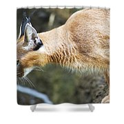 Caracal About To Jump Shower Curtain