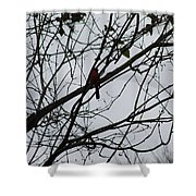 Cardinal Amongst The Branches Shower Curtain