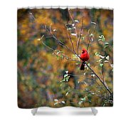 Cardinal In Autumn Shower Curtain