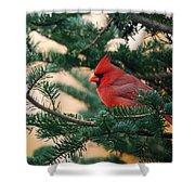 Cardinal In Balsam Shower Curtain