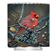 Cardinal In The Berries Shower Curtain