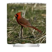 Cardinal In The Field Shower Curtain