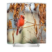 Cardinal In The Pokeberries Shower Curtain