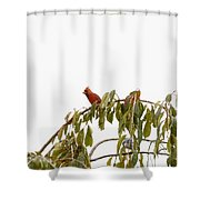 Cardinal On A Branch Shower Curtain
