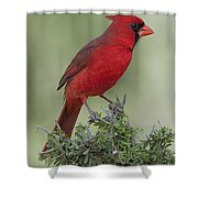 Cardinal On Tree Shower Curtain