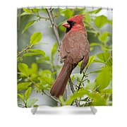 Cardinal Pictures 123 Shower Curtain
