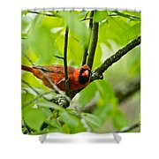 Cardinal Pictures 138 Shower Curtain