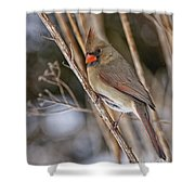 Cardinal Pictures 50 Shower Curtain