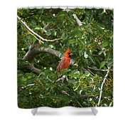 Cardinal Posing Shower Curtain