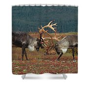 Caribou Males Sparring Shower Curtain by Matthias Breiter