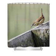 Carolina Wren Two Shower Curtain