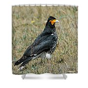 Carunculated Caracara Shower Curtain