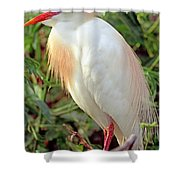 Cattle Egret Adult In Breeding Plumage Shower Curtain