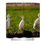 Cattle Egrets Shower Curtain