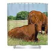 Cattle Grazing In Field Shower Curtain