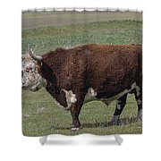 Cattle With Horns Full Body Portrait Shower Curtain