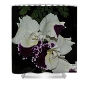 Cattleya Moscombe 'the King'  3 Of 3 Shower Curtain