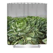 Cauliflowers Shower Curtain