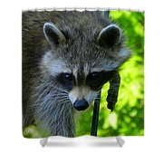 Cautious Coon Shower Curtain