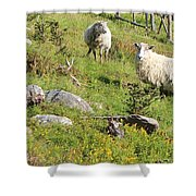 Cautious Sheep In The Pasture Shower Curtain