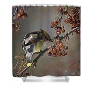 Cedar Waxwing Eating Berries 7 Shower Curtain