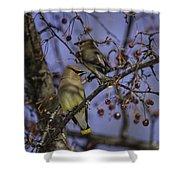 Cedar Waxwing Eating Berries 9 Shower Curtain
