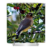 Cedar Waxwing In Tree 030515a Shower Curtain