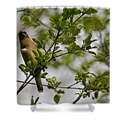 Cedar Waxwing Pictures 15 Shower Curtain