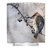 Cedar Waxwing Pictures 30 Shower Curtain