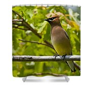 Cedar Waxwing Pictures 38 Shower Curtain