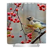 Cedar Waxwing Pictures 50 Shower Curtain