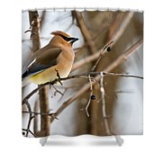 Cedar Waxwing Pictures 52 Shower Curtain