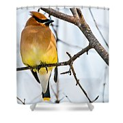 Cedar Waxwing Pictures 53 Shower Curtain