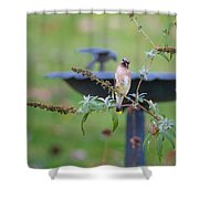 Cedar Waxwing Square Shower Curtain