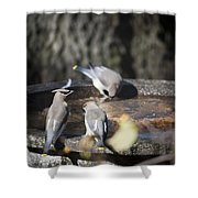Cedar Waxwings Squared 2 Shower Curtain