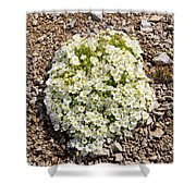 Cerastium Uniflorum Shower Curtain