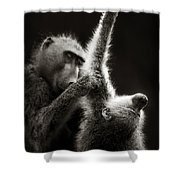 Chacma Baboons Grooming Shower Curtain