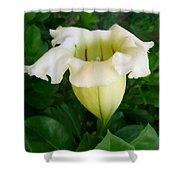 Chalice Vine Flower 9 Shower Curtain