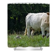 Charolais Cow And Calf In Field Shower Curtain