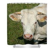 Charolais Cow Shower Curtain