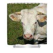 Charolais Cow Shower Curtain