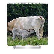 Charolais Cow Nursing Calf Shower Curtain