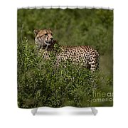 Cheetah   #0089 Shower Curtain